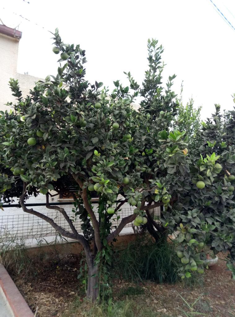 Lo Stagnone. Drzewko pomarańczowe