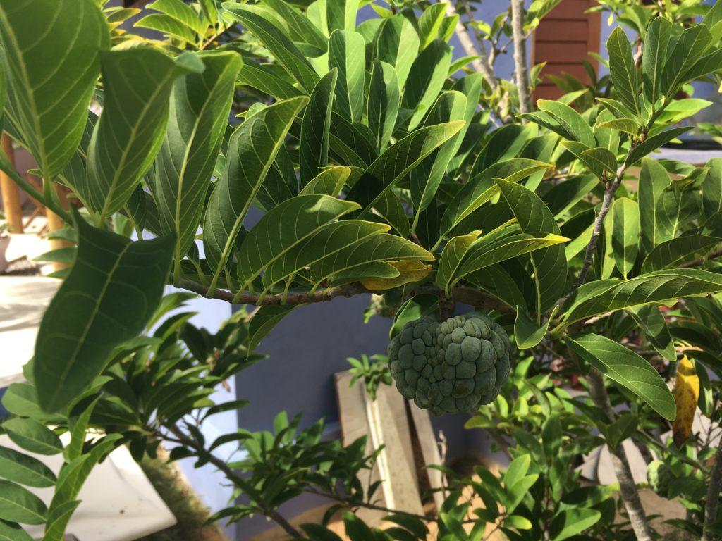 Owoc sugar apple z ogródka na teenie pousady...